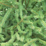norway-spruce-198_lg